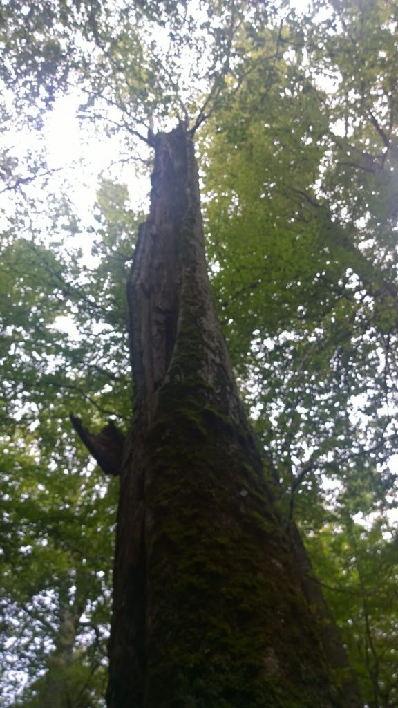 Pădurile Ţarcu 5
