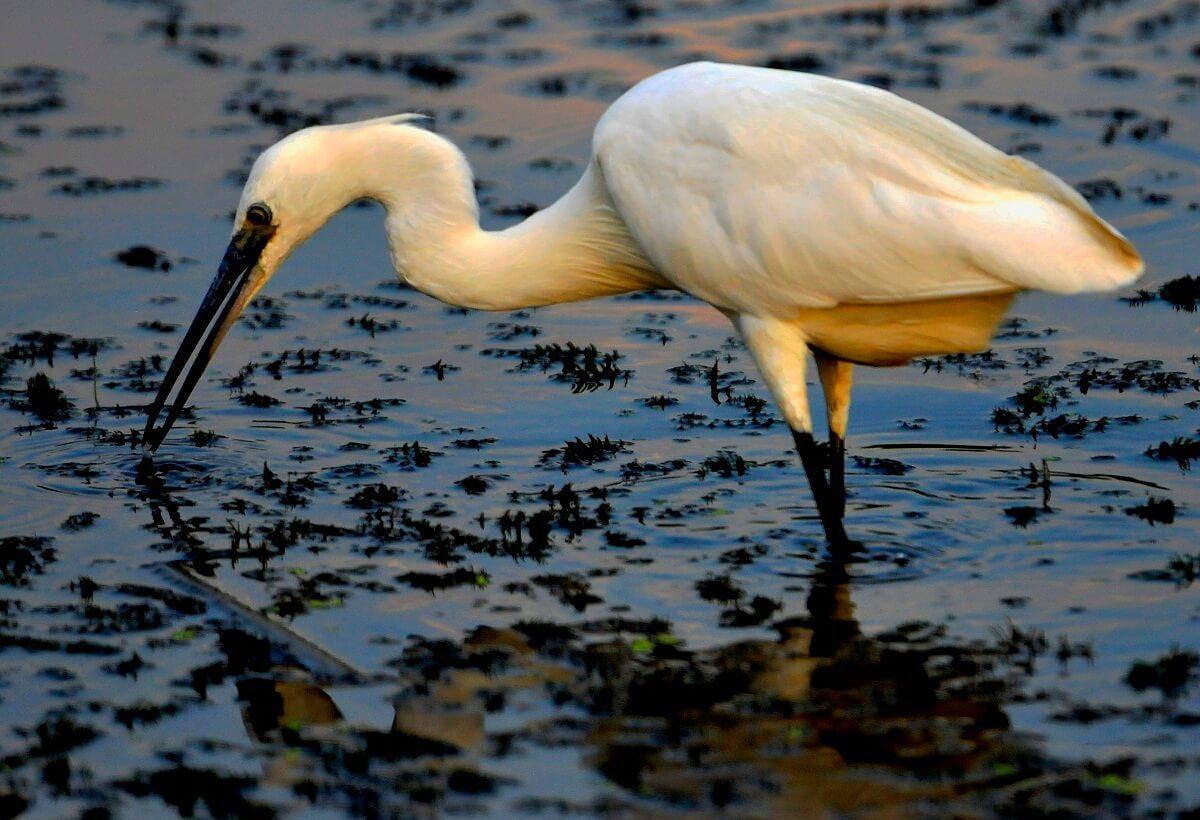 Egretă mică (Egretta garzetta)