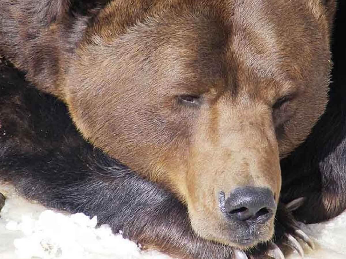Ursul BALOO Straja Povestea Locurilor