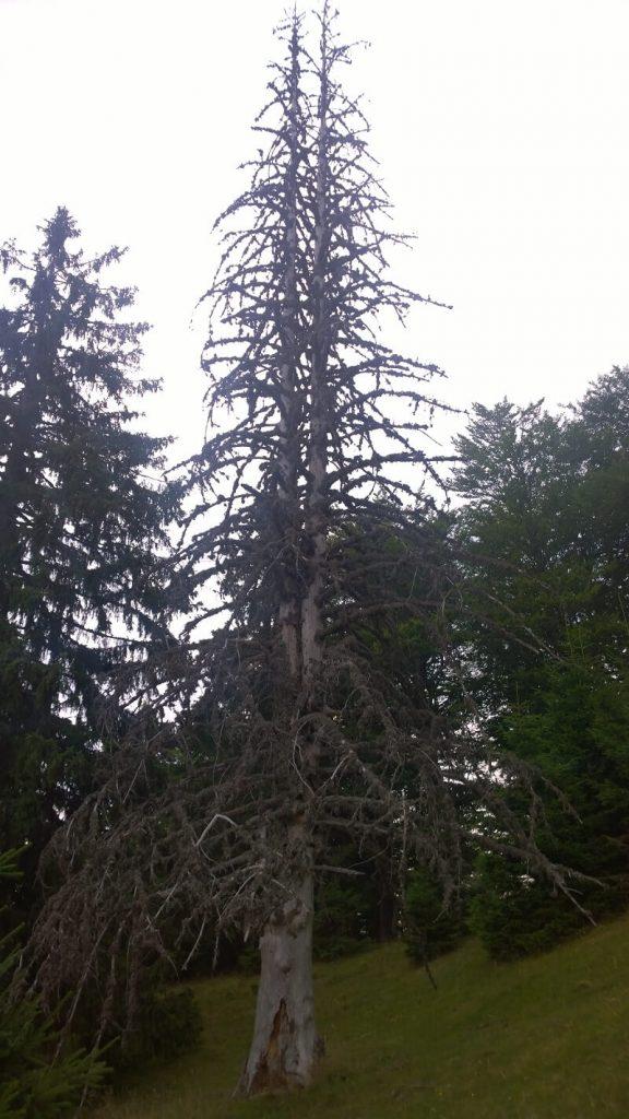 Pădurile Ţarcu 1
