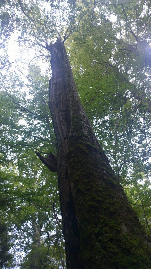 Pădurile Ţarcu 4